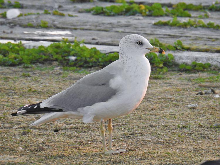 https://www.reservoirbirds.com/Images/Larus_delawarensis_121.jpg